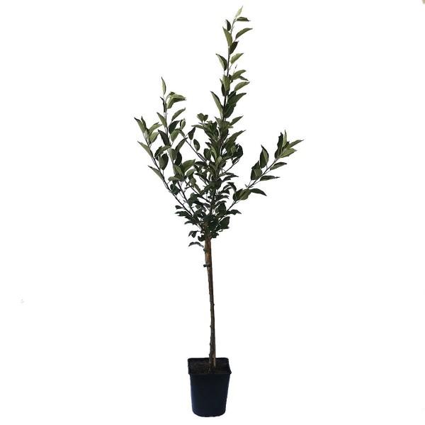 Apfelbaum Aport russischer Herbstapfel Zwergapfel Balkonobst Terrassenobst 100-120 cm 5 L Topf M9