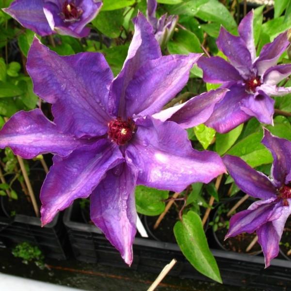 Clematis The President®, Clematis Hybride, blaue Blüten im 2 Liter Topf, gestäbt