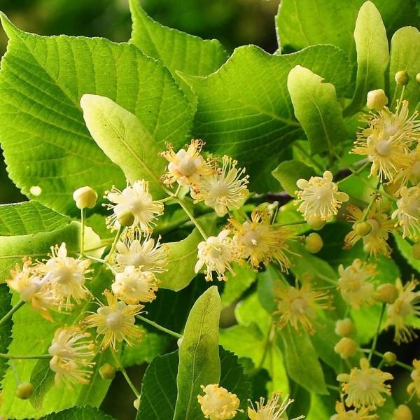 Winterlinde Linde Tilia cordata wertvoller Bienenpflanze Heister mit ca. 100-125 cm im 5 Liter Topf