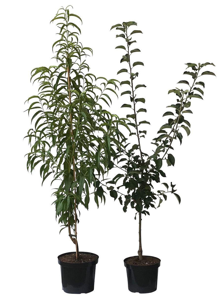 Mit einem pfirsichbaum sets gr ner garten shop - Pfirsichbaum im garten ...