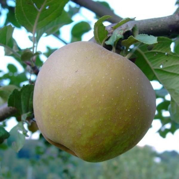 Apfelbaum Zabergäu Renette Winterapfel Buschbaum mürbe säuerlich 150-170 cm 10 L Topf Unterlage M7