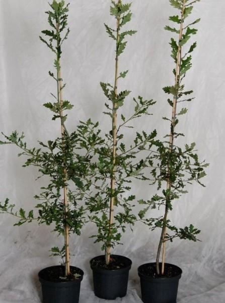 Roteiche, Eiche, Quercus rubra, Heister Amerikanische Spitzeiche mit ca. 60-80 cm, 5 Liter Topf