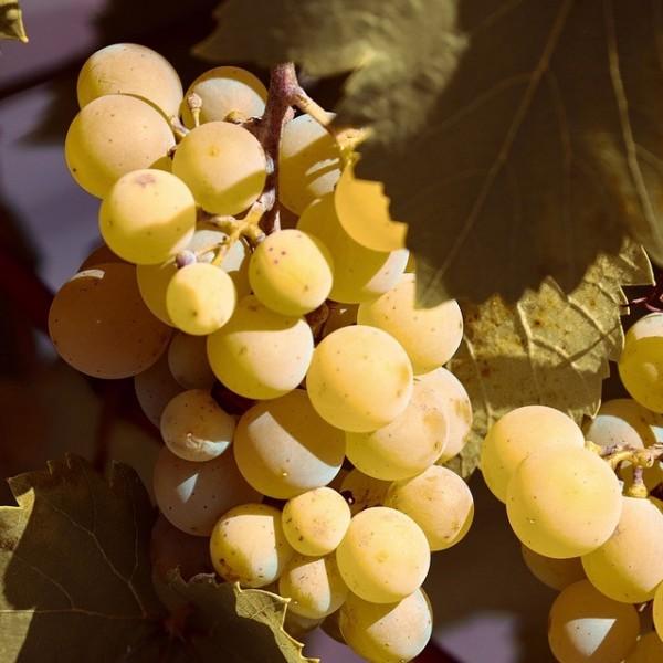 Gelber Augusteller goldgelbe süße Weintraube mit Muskataroma