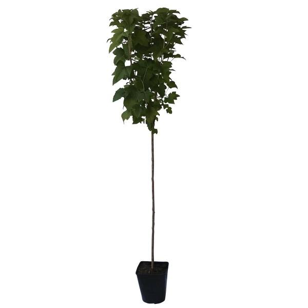 Titania Ⓢ schwarze Johannisbeere Hochstamm ca 80-90 cm Stamm hoher Ertrag, im 5 Liter Topf