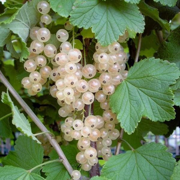 Weiße Versailler, weiße Johannisbeere, Busch, helle Beere mit aromatischem Geschmack im 3 Liter Topf