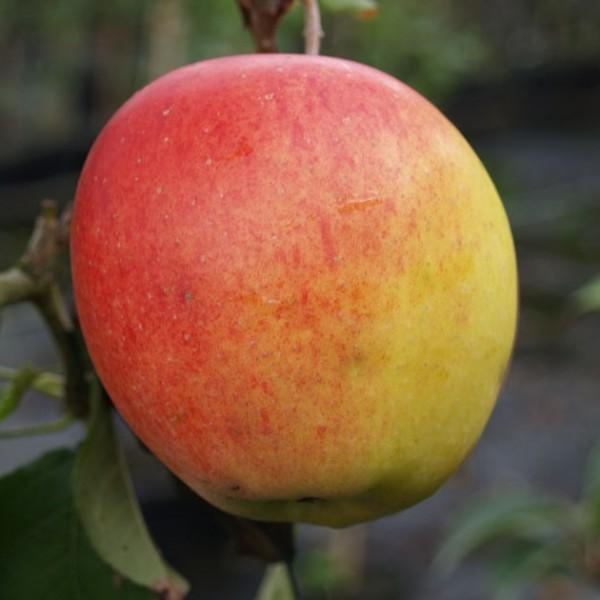 Brakeler Apfel regionale robuste Apfelsorte Hochstamm 180 cm Stamm wurzelnackt Unterlage Sämling