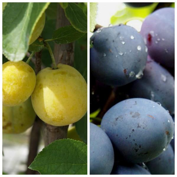 Mirabelle, kleine gelbe, runde Frucht  und Zwetsche, großfrüchtig, 2 Sorten auf einem Baum veredelt