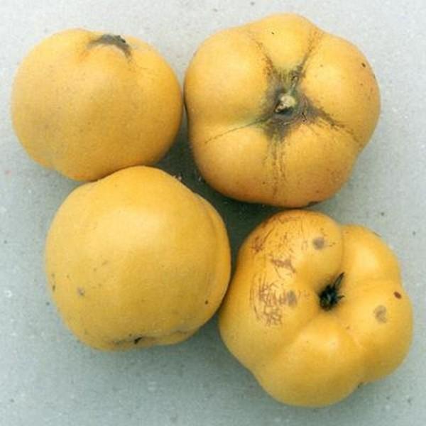 Konstantinopler Apfelquitte Halbstamm selbstfruchtbar 170-200 cm im 9,5Liter Topf Unterlage Quitte A
