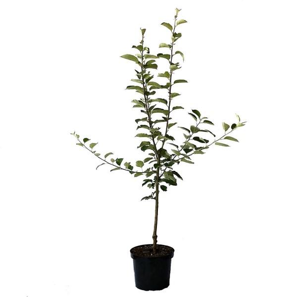 Apfelbaum Braeburn Winterapfel Lagerapfel Buschbaum 120-150 cm im 7,5 Liter Topf Unterlage M9