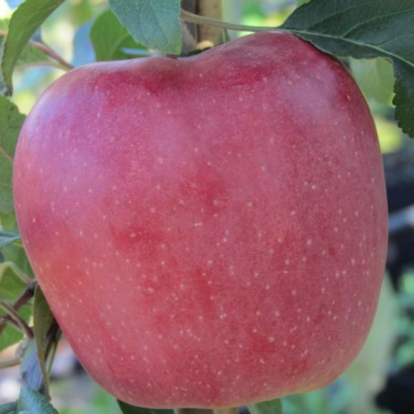 Apfelbaum Gloster Winterapfel süß säuerlich Winterapfel Buschbaum 120-150cm 9,5 L Topf, MM 111