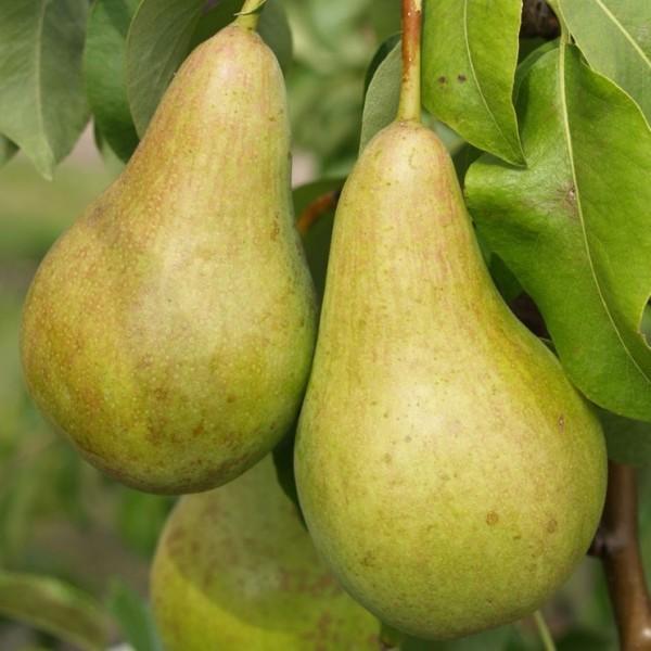 Abate Fetel, Herbstbirne, Birnenbaum als Buschbaum ca. 120-150 cm 7,5 Liter Topf, Unterlage Quitte A