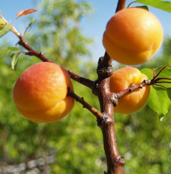 Aprikosenbaum Hargrand süß fest saftig Aprikose Buschbaum 150-170 cm im 10 Liter Topf St. Julien A