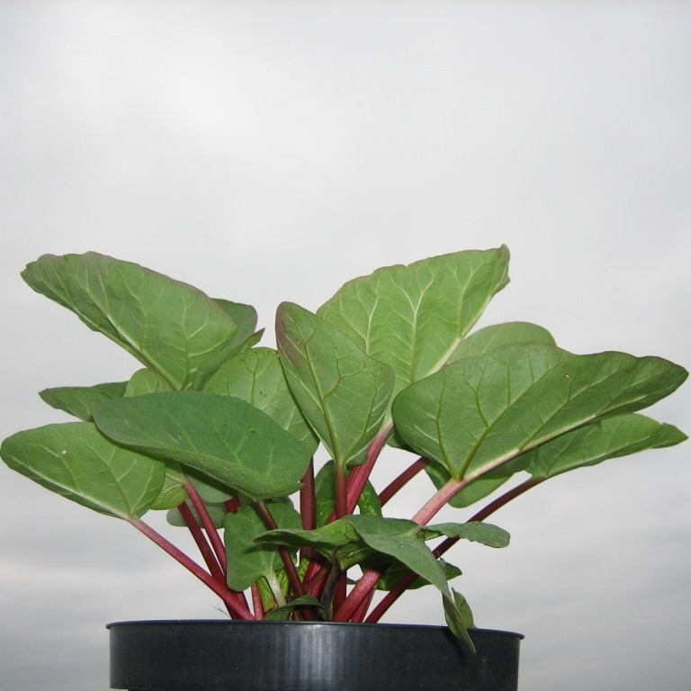 rhabarber pflanze fultons strawberry surprise erdbeerote stiele kompakter wuchs im 2 liter. Black Bedroom Furniture Sets. Home Design Ideas
