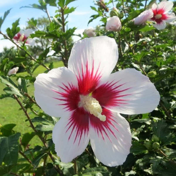 Roseneibisch Hibiscus syriacus Red Heart weiße offene Blüte innen rot ca. 40-60 cm 3-5 Liter Topf