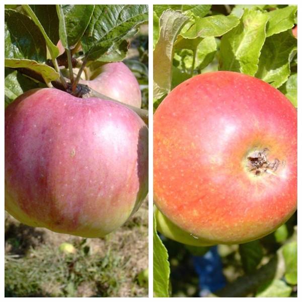 Duo Apfelbaum Ontarioapfel und Alkmene 2 Sortenapfelbaum im 9,5 L Topf Veredelungsunterlage MM111