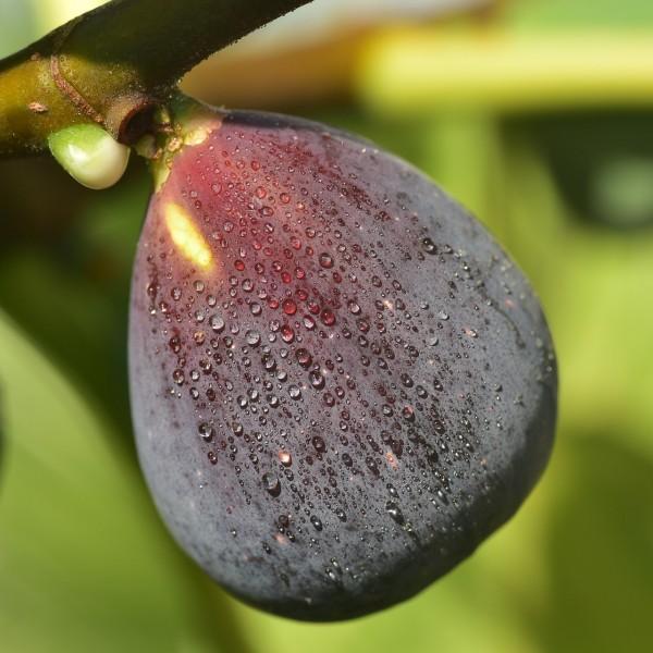 Feige Brown Turkey - Ficus carica auf Stamm