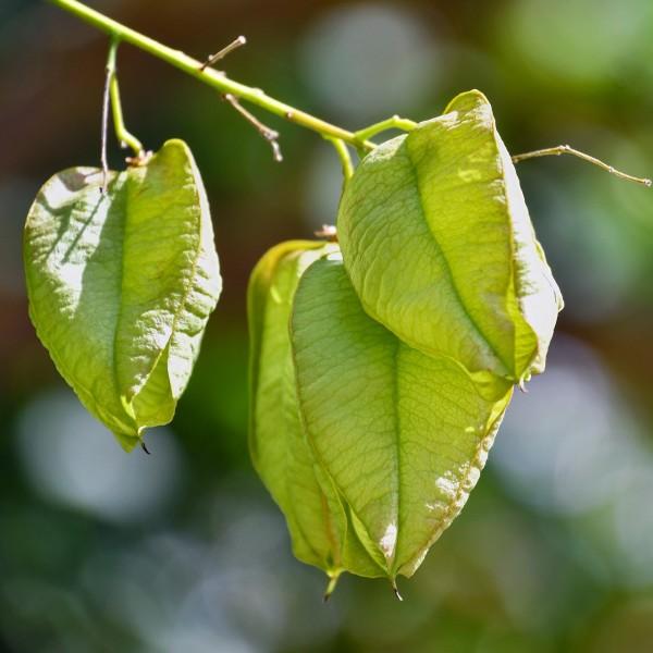 Blasenbaum - Blasenesche - Koelreuteria paniculata