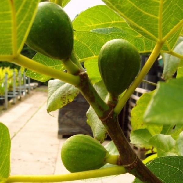 2-er Set! Pfälzer Fruchtfeige und Brown Turkey, Ficus carica Feigenbaum ca. 40-90 cm, 2-3 Liter Topf