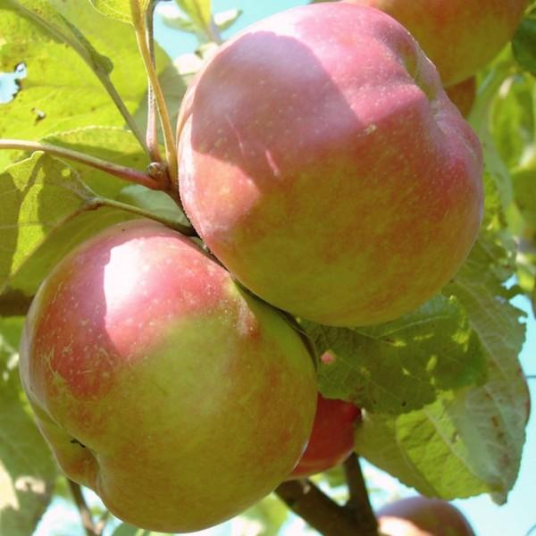 Brettacher Gewürzapfel aus Schwaben Hochstamm 180 cm Stamm wurzelnackt Unterlage Sämling