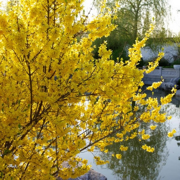 goldgl 246 ckchen forsythie strauch mit gelben bl 252 ten 2 pflanzen ca 20 40 cm im 1 2 liter topf
