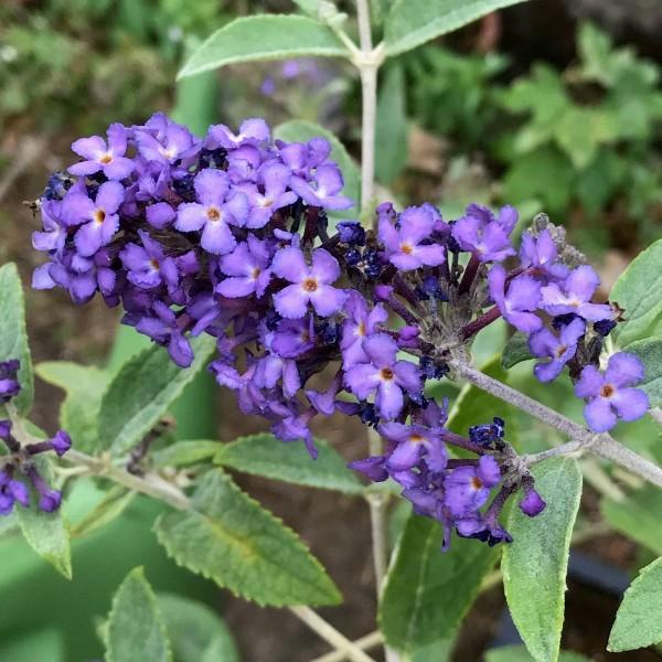 Zwerg Sommerflieder Buddleja davidii, Blue Heaven ® blau lila blühend, ca. 30-60 cm im 3 Liter Topf