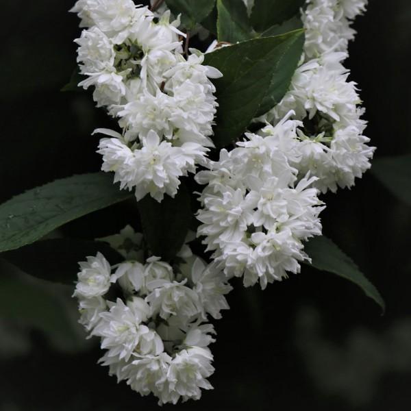 Sternchenstrauch Deutzia scabra Plena gefüllte rosa-weiße Blüten ca. 60-100 cm im 3 L Topf