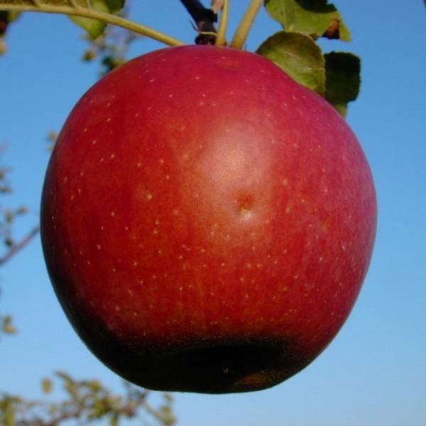 Apfelbaum Roter Eiserapfel Winterapfel Apfel Halbstamm Lagerapfel 170-200 cm 10 L Topf Unterlage M7
