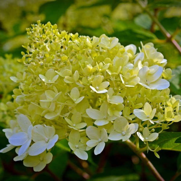 Rispenhortensie Little Lime®