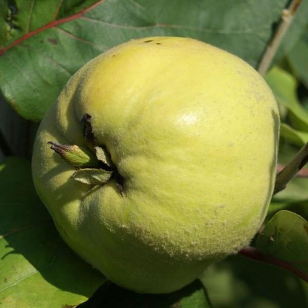 Riesenquitte von Leskovac duftende Frucht Halbstamm 170-200 cm wurzelnackt Unterlage Quitte A