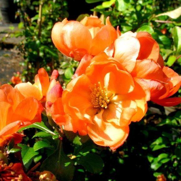 Zitronenquitte Orange Trail Scheinquitte orange Blüte essbare Zierquitte ca. 30-60 cm 3 Liter Topf
