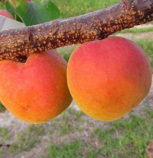 Orangenaprikose Bhart / Orangered (R) große süß saftige Aprikose