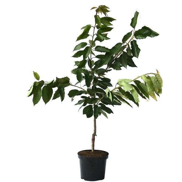 Große Prinzessin Süßkirsche kleinbleibender Kirschbaum Buschbaum ca. 120-150 cm auf GiSelA 5
