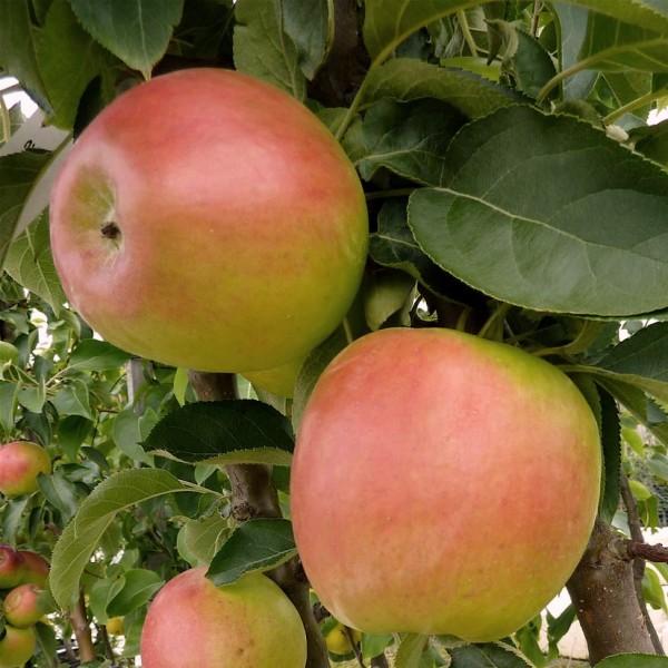 Spurkoop, Säulenapfel, Apfel robust, süßsäuerlich, ca. 60-100 cm im 9,5 Liter Topf, MM 111