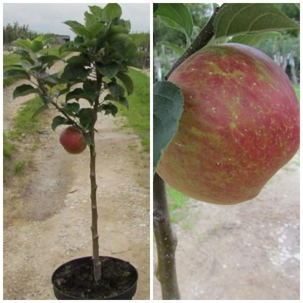 Zwergapfel Delgrina, süßer großer Apfel, Apfelbaum Spindelbaum im 5 Liter Topf, Unterlage MM 111