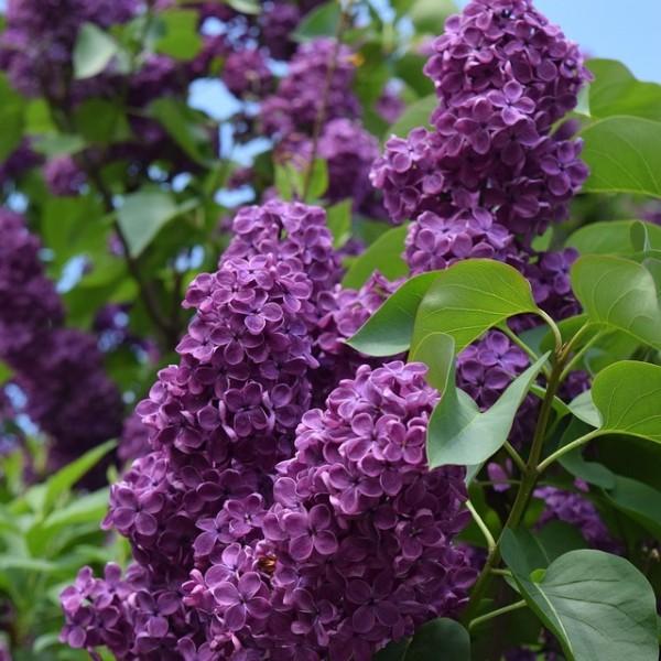 Flieder Andenken an Ludwig Späth einfache dunkel purpurrote Blüte ca. 40-60 cm im 3-5 Liter Topf
