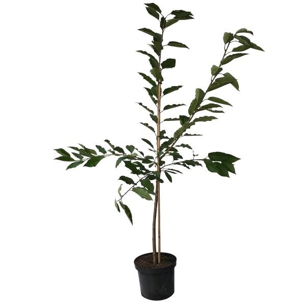Sunburst selbstfruchtbar einjährig Süßkirsche Kirschbaum Buschbaum 100-120 cm 7,5 Liter Topf GiSelA5