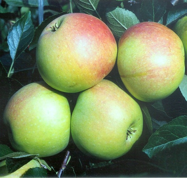 James Grieve, Sommer- Apfel kleinbleibend 1-jg ca. 80-100 cm, 5 Liter Topf, M9