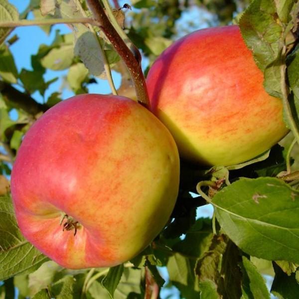 Teser schorfresistenter Herbstapfel