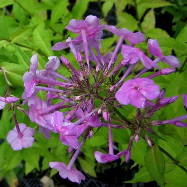 Breitblatt Flammenblume, Phlox amplifolia, hellrosa mit dunkelrosa Auge Staude im 1 Liter Topf