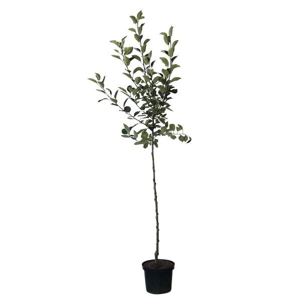 Apfelbaum PinovaⓈ robuster Lagerapfel Winterapfel Halbstamm 170-200 cm 10 Liter Topf Unterlage M7