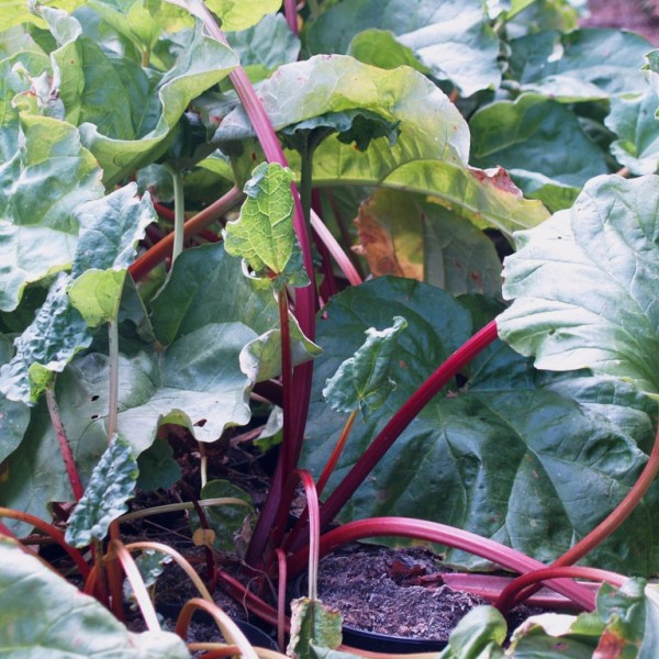 Rhabarber Pflanze Frambozen Rood rotstielig späte Sorte Himbeerrhabarber im 3-5 Liter Topf