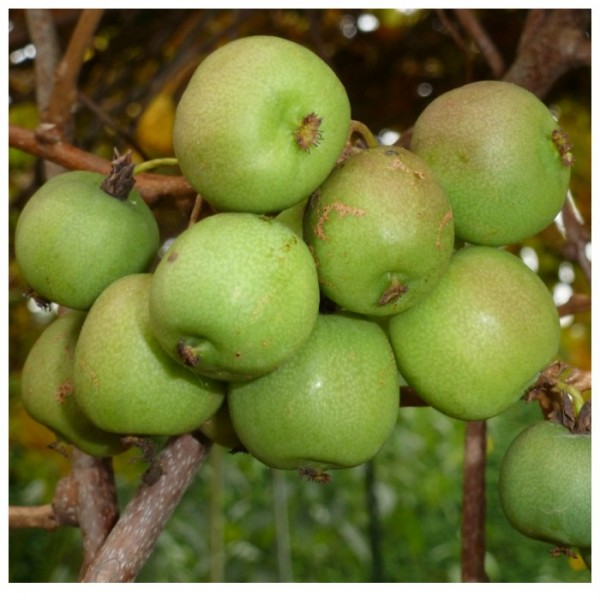 NEU! Apfelkiwi, Kiwibeere, Minikiwi weibliche Actinidia arguta 60-80 cm, 3 Liter Topf