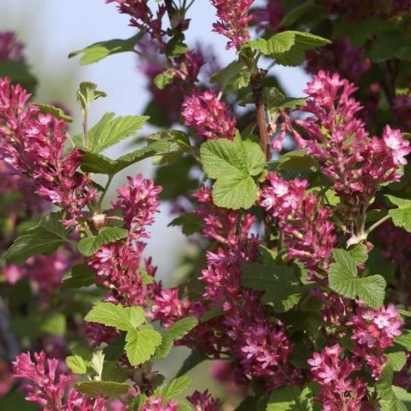 Zierjohannisbeere rosa-rot blühend, Ribes sanguineum ca. 30-50 cm, 3 Liter Topf