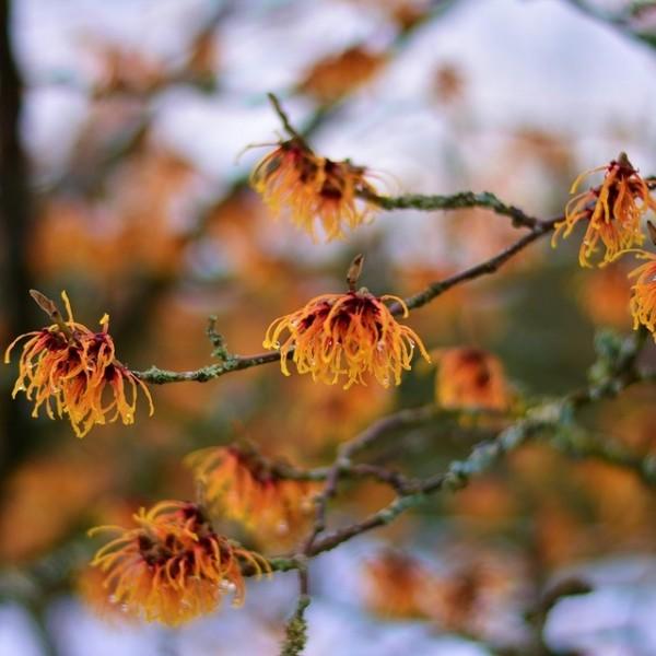 Zaubernuss Jelena - orangeblühende Hamamelis