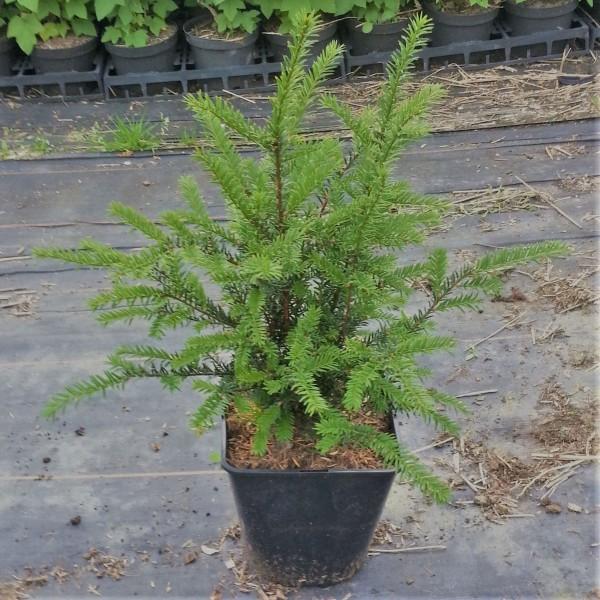 Einheimische Eibe Taxus baccata 50-55 cm im 5 L Topf 5 jährig breit-buschig als Solitärgehölz Hecken