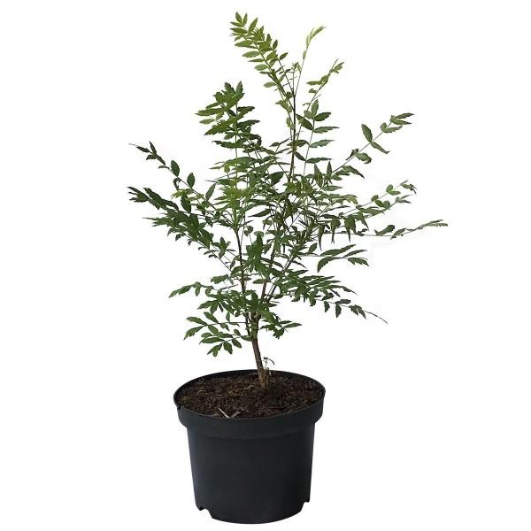 Gelbhornstrauch, Xanthoceras sorbifolium, Nussfrüchte, Baum ca. 40-80 cm, Pflanze im 3 Liter Topf