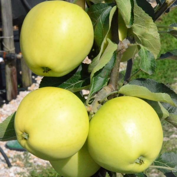 Apfelbaum Weißer Klarapfel frühester Sommerapfel Buschbaum 120-150 cm im 7,5 Liter Topf Unterlage M9