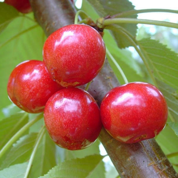 Lapins, große Süßkirsche selbstfruchtbar Kirschbaum als Buschbaum ca. 120-150 cm, 9,5 L. Topf F12/1