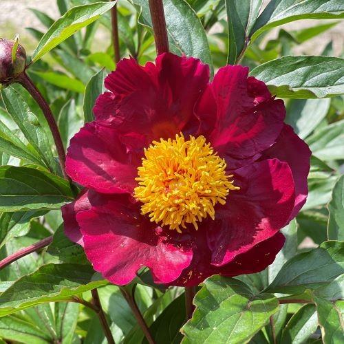 Rote Pfingstrose Balliol - Paeonia lactiflora
