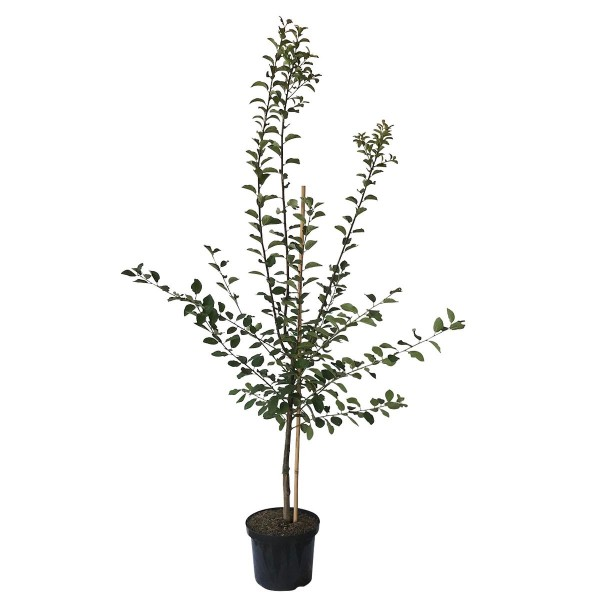 Graf Althans Reneklode weinartigem Geschmack Historisch Buschbaum 120-150 cm 9,5 Liter Topf Brompton
